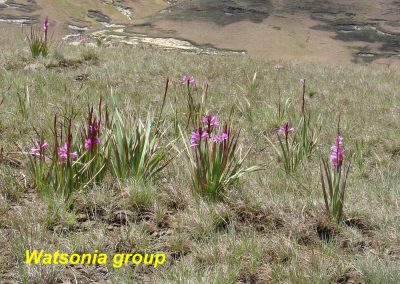 watsonia group