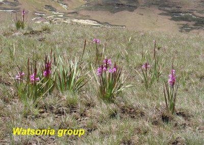 watsonia group